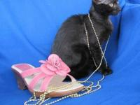 Domestic Short Hair - Black - Jet - Medium - Baby -