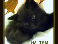Domestic Short Hair - Black - Jimmy - Large - Adult -