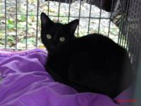 Domestic Short Hair - Black - Kane - Medium - Young -