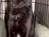Domestic Short Hair - Black - Kat - Medium - Young -