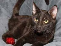 Domestic Short Hair - Black - Kenny - Medium - Young -