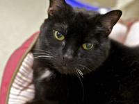 Domestic Short Hair - Black - Kisses - Small - Senior -