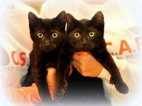 Domestic Short Hair - Black - Kittens - Urgent - Small