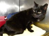 Domestic Short Hair - Black - Kitty*reduced Fee* -