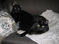 Domestic Short Hair - Black - Kota - Small - Senior -