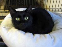 Domestic Short Hair - Black - Kurt - Small - Young -
