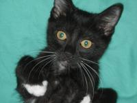 Domestic Short Hair - Black - L.j. - Medium - Baby -