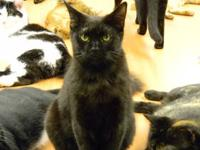 Domestic Short Hair - Black - Licorice - Small - Baby -