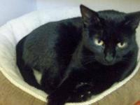 Domestic Short Hair - Black - Lilly - Large - Adult -