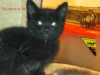 Domestic Short Hair - Black - Louise - Medium - Young -