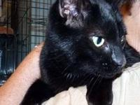 Domestic Short Hair - Black - Lucy Pearl - Extra Large