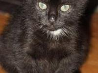 Domestic Short Hair - Black - Luke - Medium - Young -