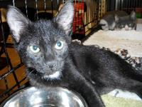 Domestic Short Hair - Black - Magoo And Muffin - Large
