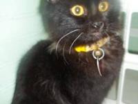 Domestic Short Hair - Black - Max - Small - Young -