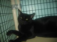 Domestic Short Hair - Black - Melton - Medium - Young -