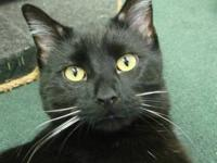 Domestic Short Hair - Black - Melvin - Large - Young -