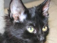 Domestic Short Hair - Black - Midnight - Medium - Young
