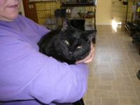 Domestic Short Hair - Black - Midnight - Small - Young