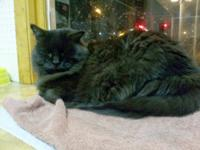 Domestic Short Hair - Black - Nikki - Small - Adult -