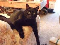 Domestic Short Hair - Black - Nod - Medium - Senior -