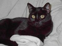 Domestic Short Hair - Black - Olivia - Medium - Young -