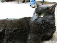 Domestic Short Hair - Black - Onyx - Medium - Young -