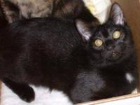 Domestic Short Hair - Black - Onyx - Small - Young -
