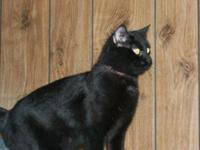 Domestic Short Hair - Black - Opie - Large - Adult -