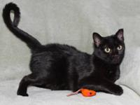 Domestic Short Hair - Black - Peabody - Medium - Young