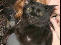 Domestic Short Hair - Black - Penny - Medium - Adult -
