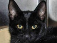 Domestic Short Hair - Black - Phoebe - Large - Young -