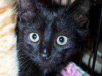 Domestic Short Hair - Black - Pixie - Small - Baby -