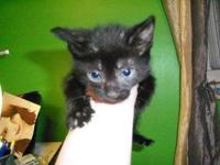 Domestic Short Hair - Black - Poe - Medium - Baby -