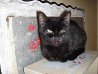 Domestic Short Hair - Black - Polly - Medium - Adult -
