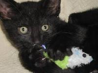 Domestic Short Hair - Black - Poor Old Minnie - Small -