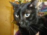 Domestic Short Hair - Black - Prince Charming - Large -