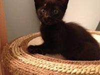 Domestic Short Hair - Black - Princess Natasha - Large