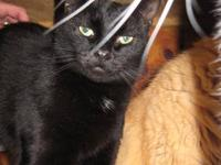 Domestic Short Hair - Black - Priscilla - Medium -