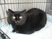 Domestic Short Hair - Black - Rain - Large - Adult -