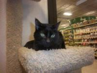 Domestic Short Hair - Black - Rex - Medium - Adult -