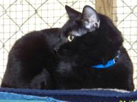 Domestic Short Hair - Black - Robin - Large - Adult -