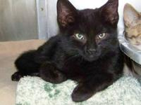 Domestic Short Hair - Black - Rocket - Large - Young -