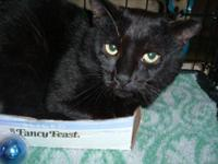 Domestic Short Hair - Black - Rodney - Large - Adult -