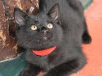 Domestic Short Hair - Black - Rudy - Medium - Young -