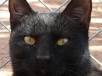 Domestic Short Hair - Black - Sal - Medium - Young -