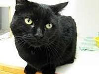 Domestic Short Hair - Black - Sally - Large - Adult -