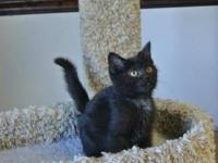 Domestic Short Hair - Black - Sally - Small - Young -