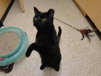 Domestic Short Hair - Black - Sammy - Large - Young -