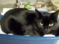 Domestic Short Hair - Black - Savannah - Medium - Adult
