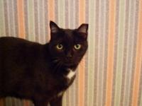 Domestic Short Hair - Black - Scarlett - Medium - Adult